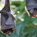 Coronavirus - Le cause di trasmissione - I Pipistrelli